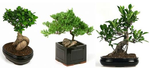 ficus-tree-care-shrubs